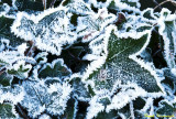 Frosted Ivy.jpg