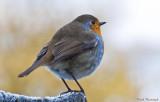 Fat Little Robin.jpg