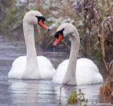 Mute Swans.jpg