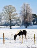 Piebald Horse.jpg