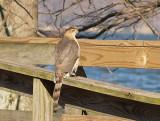 Coopers Hawk - 1-1-10  adult female - Reelfoot.