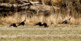Wild Turkey - 1-1-10 Reelfoot Lake