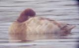 Lesser Scaup - 1-14-10  Leucistic - TVA Lake