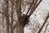 Great Horned owl - 2-13-2010 nest at Reelfoot