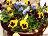 House - Flowers - 4-17-10 Pansy Pot