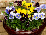 House - Flowers - 4-17-10 Pansy Pot  2