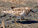 Wind Bird Gallery - Least Sandpiper