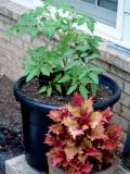 House - Flowers - 5-12-10 Bonnie Hybrid Tomato