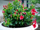 House - Flowers - 5-12-10 Crimson Mandevilla.
