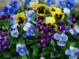 House - Flowers - 5-12-10 Pansey Pot.