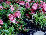 House - Flowers - 5-17-10 Dwarf Azalia.