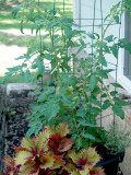 House - Flowers - 6-1-10 -Bonnie Tomato -  at  6 weeks - 3ft and 12 green tomatoes.