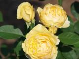 House - Flowers - 5-26-10 Graham Thomas Rose -