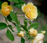 House - Flowers - 5-31-10 Graham Thomas - glorious true yellow rose.jpg