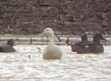 Northern Pintail - albinistic - front - 12-31-06