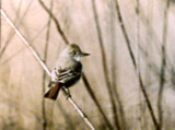 Ash-throated Flycatcher - Ensley Bottoms -Dec. 2002