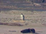 Peregrine Falcon - 11-4-07 Dacus Bar
