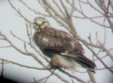 Rough-legged Hawk - Lt . Morph 11-22-07.