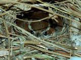 Carolina Wren on nest 4-12-08