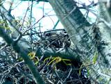 Loggerhead Shrike - on nest 4-12-08