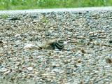 Killdeer - roadside nest