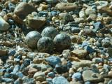 Killdeer - roadside eggs