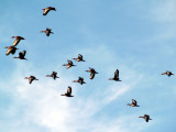Black-bellied Whistling Duck - 5-8-08 Ensley