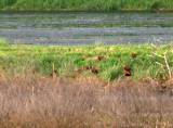 Black-bellied Whistling Duck - 5-8-08