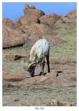 Pikes Peak bighorn sheep