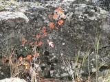 more rock lichens