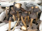cluster of mushrooms in wood chips