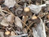 mushrooms in wood chips