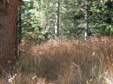 dry grasses and evergreens