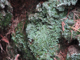 green mosses