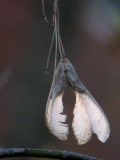 maple seed pods