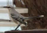 caraïbische spotvogel, of chuchubi
