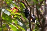 Spot-crowned Barbet (Capito maculicoronatus rubrilateralis)