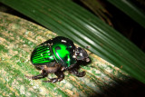 Green Devil Beetle (Oxysternon conspicillatum)
