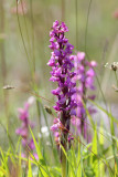 Early-purple Orchid (Orchis mascula)