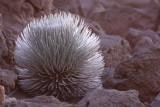 'Āhiniahina aka Haleakalā Silversword (Argyroxiphium sandwicense macrocephalum)