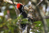 Powerful Woodpecker (Campephilus pollens)