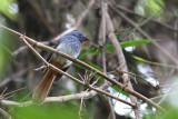 Visayan Fantail (Rhipidura albiventris)