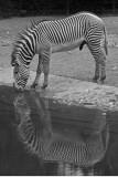 zebra 20060731009