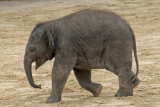 elephant / olifant  20060731029