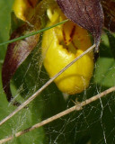 Orchid and spider.jpg