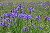 Eklutna_Iris_24Jun2007_ 072aes2.jpg