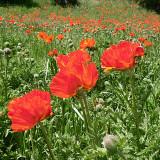Mantua Poppies