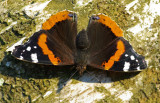 Red admiral on a silver birch