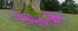 Cyclamen at Killerton