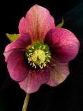 Lentern rose